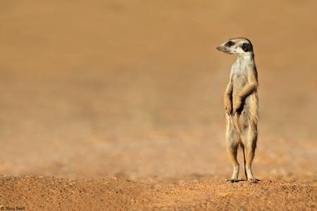 curious-meerkat